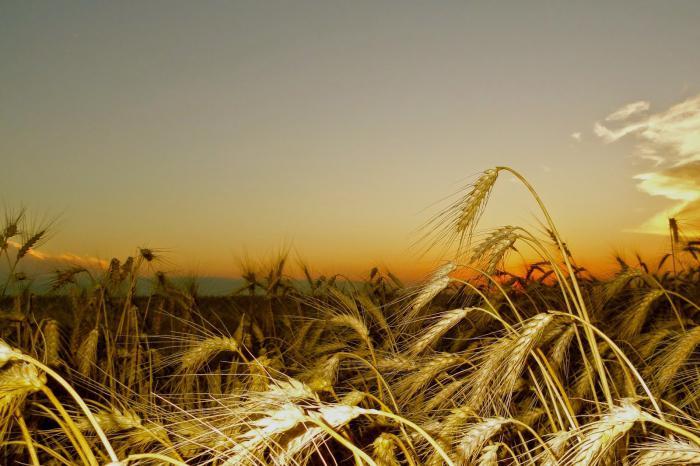 Семена озимой пшеницы Антонина, Безостая 100, Гурт, Дуплет, Нота, Сварог и др.